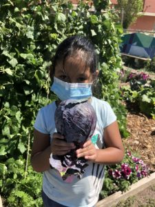 Young girl proudly holds up a purple cabbage in the community garden.